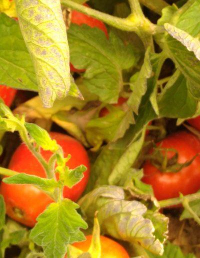 Salsa de Tomate Frita en Sarten